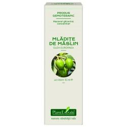 Extract concetrat din mladite de MASLIN - Olea europeea PlantExtrakt